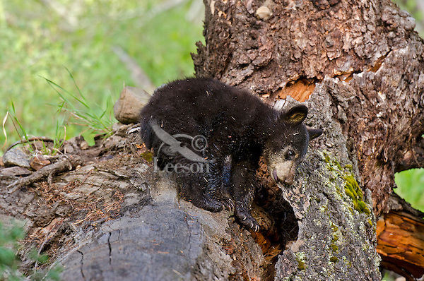"""Wild Black Bear (Ursus americanus) cub.  Western U.S., spring. (This is what is known as a """"coy""""--cub of the year.)  Chewing on a piece of old tree bark."""