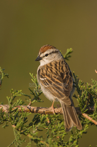 Chipping Sparrow, Spizella passerina, adult on Mountain Cedar (Juniperus ashei), Uvalde County, Hill Country, Texas, USA