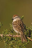 Chipping Sparrow, Spizella passerina, adult on Mountain Cedar (Juniperus ashei), Uvalde County, Hill Country, Texas, USA