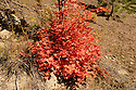 The fall colors on some maple trees is so bright that one is drawn to examine and photograph them.