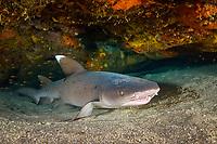 whitetip shark, Triaenodon obesus, inside a shallow cave, Kona, Big Island, Hawaii, USA, Pacific Ocean