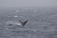 Humpback whale Megaptera novaeangliae breaching in stormy seas, South orkney islands, Scotia sea, Southern ocean, Antarctica