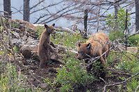 Grizzly Bear and standing cub in the rain, on the east end of Going to the Sun Road, Glacier National Park, Wyoming