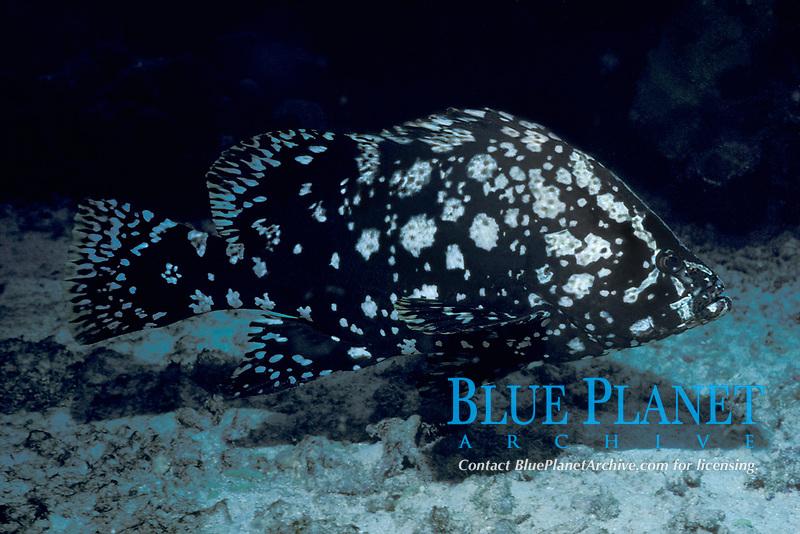 marbled grouper, Dermatolepis inermis (formerly Epinephelus inermis), juvenile Aruba, Netherlands Antilles (Dutch Caribbean or Dutch ABC Islands), Atlantic
