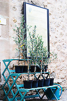 Young olive plants for sale. Moulin Mas des Barres olive mill, Maussanes les Alpilles, Bouches du Rhone, Provence, France, Europe