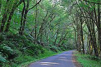 Olympic Hot Springs Road leads through a forested section of the Elwha River Rainforest, Olympic National Park, Washington State.