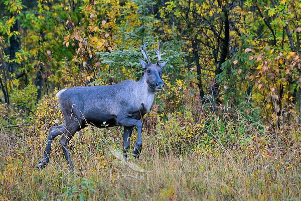 Woodland Caribou or forest-dwelling caribou (Rangifer tarandus caribou) cow.  British Columbia.  Fall.