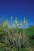 aloe cactus, Aloe barbadensis, in bloom, Bonaire Netherland Antilles or Dutch ABC Islands (Caribbean, Atlantic)