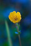 Subalpine Buttercup, Ranunculus eschscholtzil, also commonly called Snowpatch or Mountain Buttercup.  Paradise area, Mount Rainier National Park.