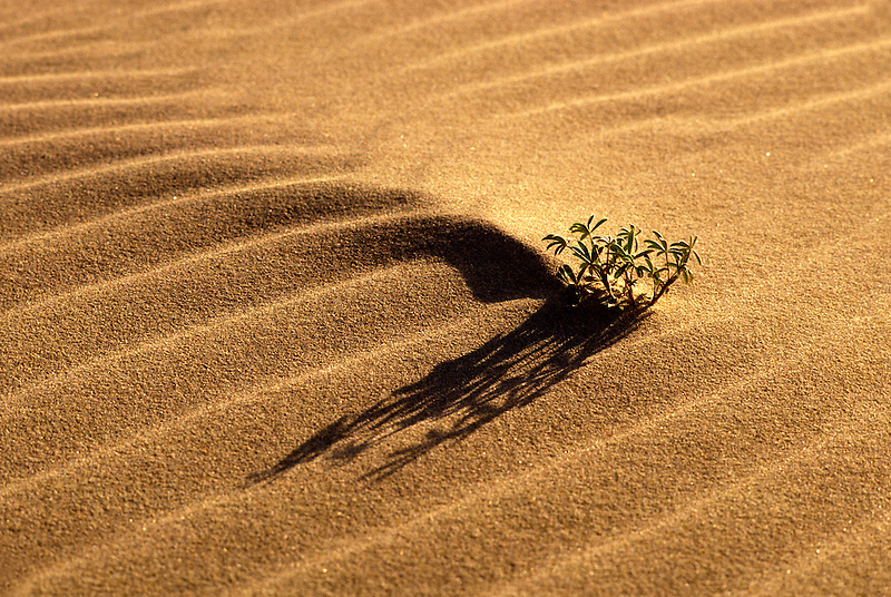 V00104.tif   Lupine in sand dune. Oregon Dunes National Recreation Area, Oregon