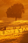 Fences, fields, oaks, late spring afternoon along upper end of Tonzi Road, Amador County, Calif.