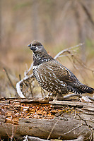 Male spruce grouse in boreal forest, Arctic, Alaska.