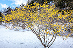 Witch Hazel at the Arnold Arboretum in Jamaica Plain, Boston, Massachusetts, USA