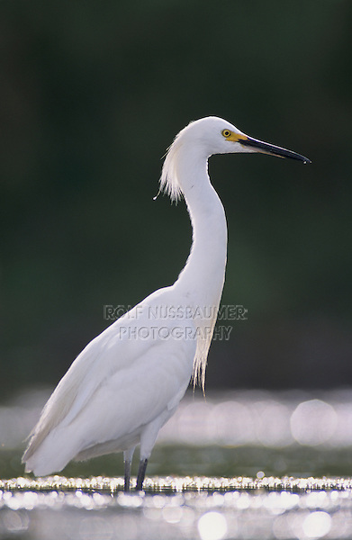 Snowy Egret, Egretta thula,adult, Lake Corpus Christi, Texas, USA, May 2003