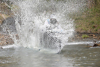 BIG SPLASH ATTACK<br />Craig Franzen of Highfill rides his bike at break-neck speed into chilly Lee Creek on Saturday April 3 2021 during the Big Splash Contest at the 32nd annual Ozark Mountain Bike Festival at Devil's Den State Park. Contestants got extra points for spashing down in costume and Franzen sported a 3-foot-long fake beard during his run. The festival also featured guided group mountain bike rides for beginner and experienced riders, instructional rides to improve riding technique, bike limbo and a skills course for kids. Riders could also pedal over some of the new trails in the park that will not officially open for about a month. Go to nwaonline.com/210404Daily/ to see more photos.<br />(NWA Democrat-Gazette/Flip Putthoff)