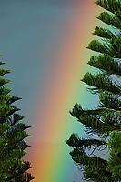 Rainbow and Norfolk pine tree, Araucaria heterophylla, The Big Island of Hawaii, Hawaii, Pacific Ocean