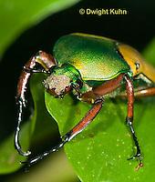 1C37-513z  Scarab Beetle, Eudicella smithii, Africa