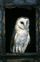 Schleiereule, Schleier-Eule, iin einem Stallfenster, Tyto alba, barn owl