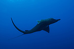 San Benedicto Island, Revillagigedos Islands, Mexico; a black manta ray swimming in blue water