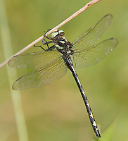 Arrowhead Spiketail (Cordulegaster obliqua) Dragonfly - Male, Ward Pound Ridge Reservation, Cross River, Westchester County, New York