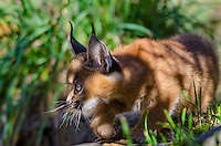 Young Caracal Kitten (Caracal caracal) stalking through grass.  Caracals are found in Africa to Central Asia and India.