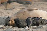 FB-S153  Northern Elephant Seal.  Female & Pup. 4x6 postcard