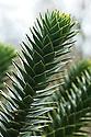 Monkey-puzzle tree (Araucaria araucana).