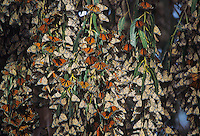 Monarch (Danaus plexippus), group roosting, California, USA