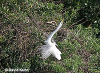 0311-0861  Great Egret Performing Breeding Dance, Displaying Breeding Plumage, Ardea alba [In Sequence with 0311-0856, 0311-0859, 0311-0861] © David Kuhn/Dwight Kuhn Photography