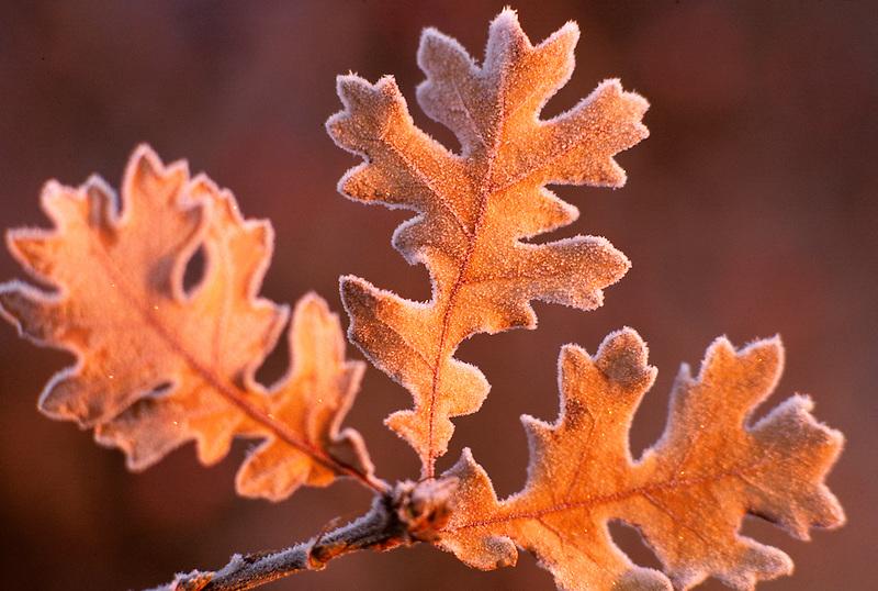 Oak leaves in frost. Near Monroe, Oregon.