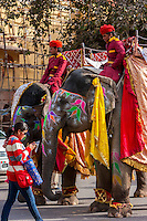 Jaipur, Rajasthan, India.  Mahouts and their Elephants Preparing to Lead a Wedding Procession.  The young woman walking by is more interested in her cell phone messages.