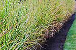 Grass Hedge.  Private garden professionally landscaped.
