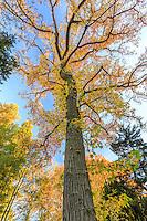 France, Allier (03), Villeneuve-sur-Allier, Arboretum de Balaine en automne, liquidambar vers l'allée du kiosque