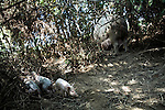 September 13, 2007, Louisburg, NC..A female hog gave birth in the woods within her large pen. As the hogs are left to forage and roam the pens, the birth process is a more natural experience than at a standard, enclosed hog farm.