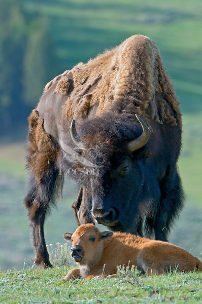American Bison cow with young calf (Bison bison).  Western U.S., May.