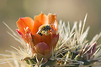 Cactus bee, Diadasia sp. (probably Diadasia rinconis), in flower of buckhorn cholla, Cylindropuntia acanthocarpa. Saguaro National Park, Arizona