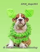 Xavier, ANIMALS, REALISTISCHE TIERE, ANIMALES REALISTICOS, dogs, photos+++++,SPCHDOGS993,#a#