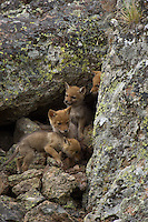 Wild Coyotes (Canis latrans) pups at entrance to their den in boulder field.  Western U.S., June.