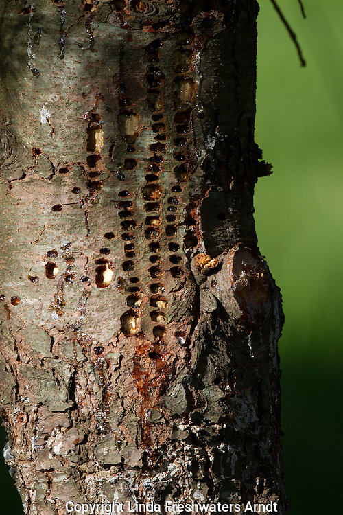 Holes drilled in a red pine by a yellow-bellied sapsucker
