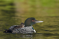 Common Loons (Gavia immer)--young chick is riding on adults back.  Northern North America, Summer.  Sometimes also called Great Northern Loon or Diver.