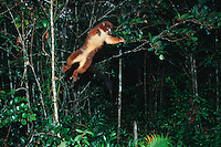 Collared Brown Lemur (Eulemur collaris), adult jumping, Madagascar, Africa