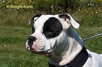 SH40-606z  American Bulldog, Close-up of face,  Canis lupus familiaris