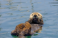 sea otter (southern), Enhydra lutris nereis, mouth open with lower teeth showing and tongue, otter cleaning teeth with front paws, eyes open, white furry face, Monterey Bay National Marine Sanctuary harbor, California