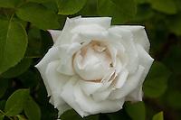 Wyck Roses 2