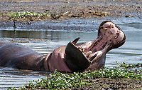 A Hippopotamus, Hippopotamus amphibius, yawns while lying in a pond in Ngorongoro Crater, Ngorongoro Conservation Area, Tanzania