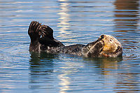 Beautiful white faced adult sea otter (Enhydra lutris nereis) grooming and holding the paws above the water, Moss Landing in the Monterey Bay National Marine Sanctuary. Note the small wound on the body below the face - probably from mating activities.