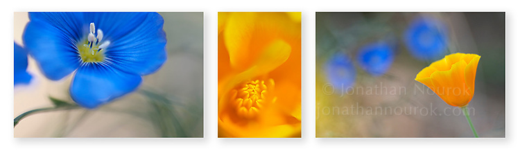 Close-up photographic triptych blue flax and  orange poppy flowers. Images 191,192 and 193.