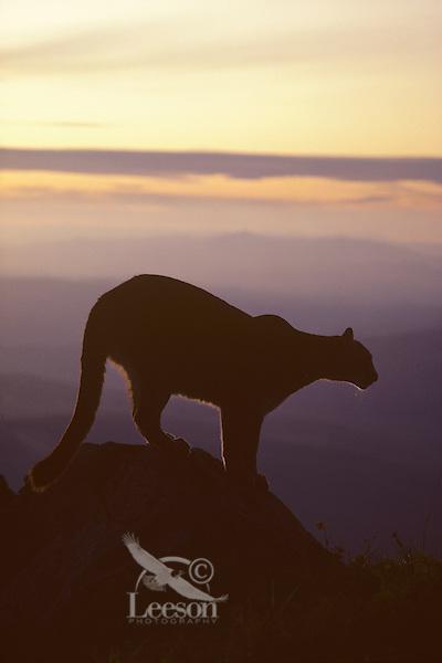 Mountain Lion or cougar (Felis concolor), Cascade Mountains, Washington.  Summer.
