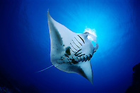 reef manta ray or coastal manta feeding on plankton, Manta alfredi, Kona Coast, Big Island, Hawaii, USA, Pacific Ocean