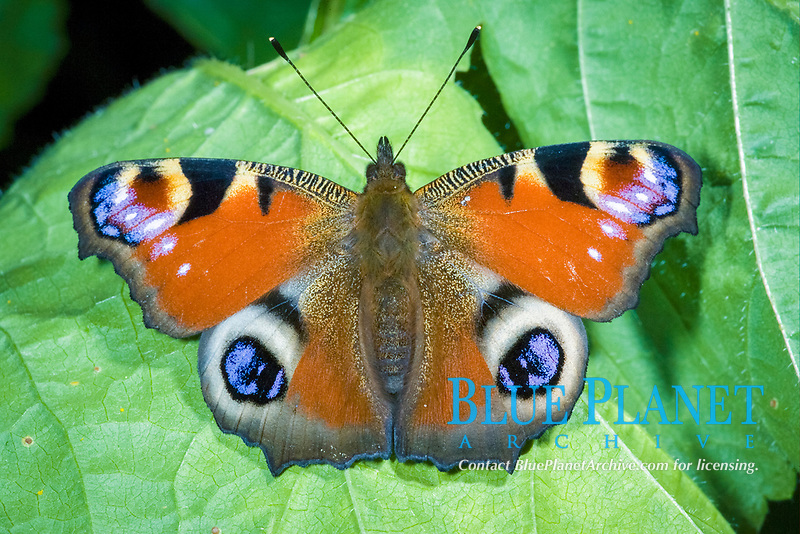 Peacock Butterfly (Inachis io), adult, sunning on leaf, England, United Kingdom, Europe